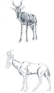Figuur 1. Afbeeldings van die rooihartbees (Alcelaphus buselaphus) Uit: Tydskrif vir Geesteswetenskappe 29(3), September 1989, p. 183.